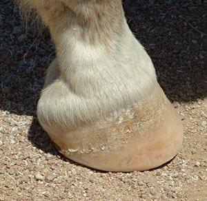 Hestens hov 1
