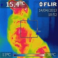 Hund infrarød optagelse