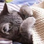Tilskud til kritisk syge katte