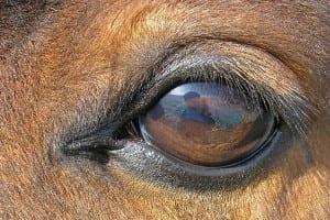 Hest øje
