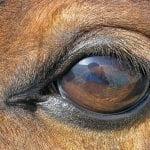 Øjenmidler til heste
