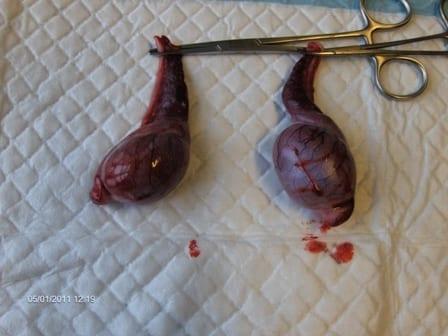 knude testikel